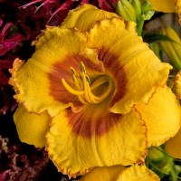 Daylily 'Jazz King' Photo courtesy of Walters Gardens