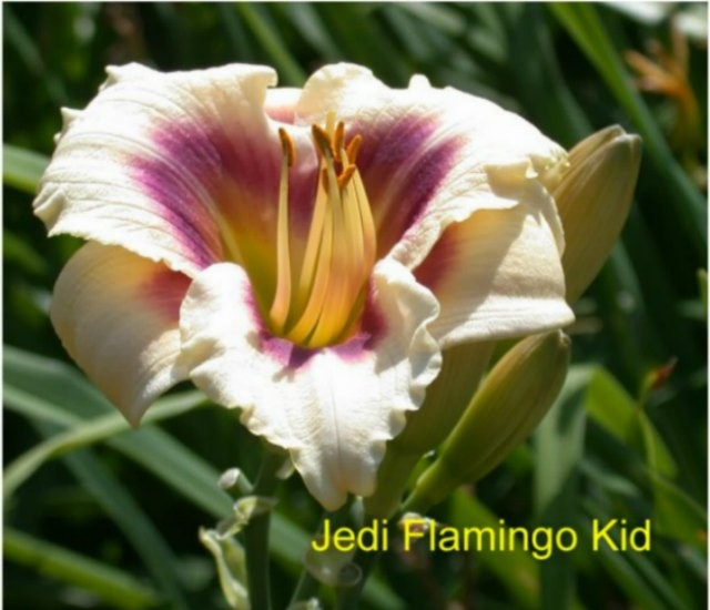 Daylily 'Jedi Flamingo Kid' photo Whitehouse Perennials Nursery and Display Gardens