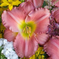 Daylily 'Jersey Girl' Photo courtesy of Walters Gardens