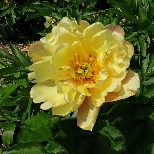 Peony 'Joanna Marlene' photo courtesy of Valleybrook Gardens