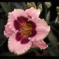 Daylily 'Joe Marinello' photo Whitehouse Perennials Nursery and Display Gardens