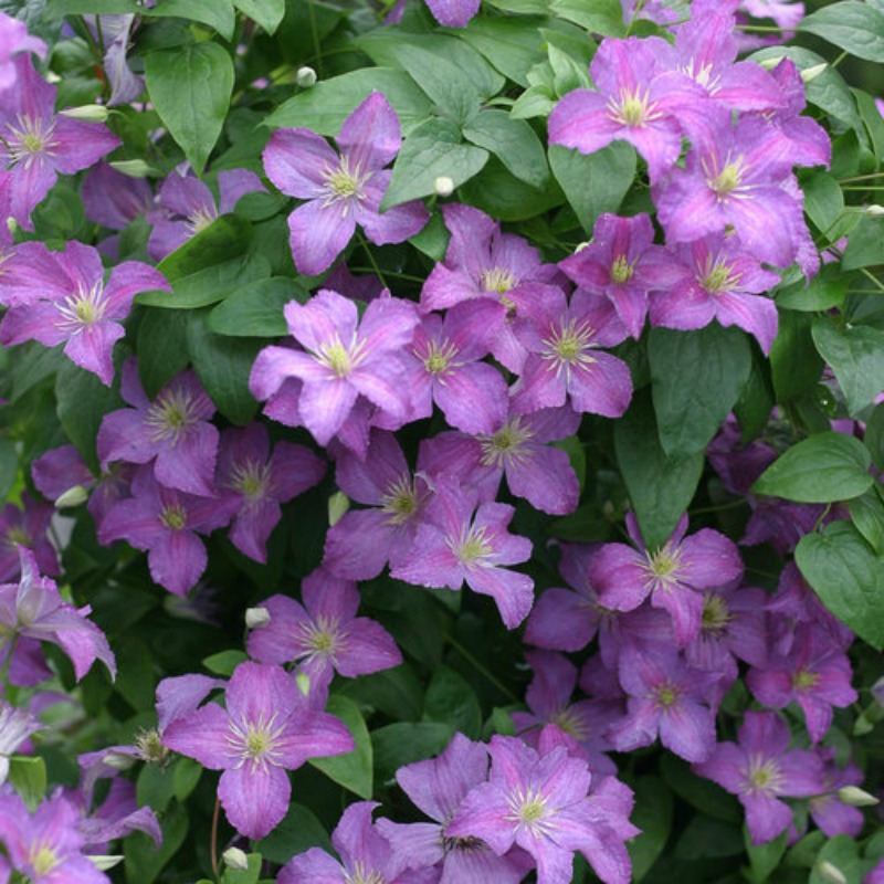 Clematis 'Jolly Good' photo courtesy of Proven Winners