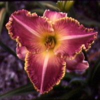 Daylily 'Judy Judy' photo Whitehouse Perennials Nursery and Display Gardens