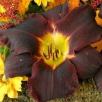 Daylily 'Jungle Beauty' Photo courtesy of Walters Gardens