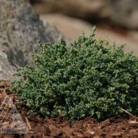 Juniperus horizontalis 'Blue Pygmy' photo courtesy of Iseli Nursery
