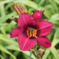 Daylily 'Katahdin' photo Suzanne Patry