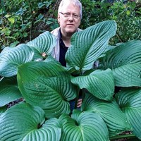 Hosta 'Kingsize' photo courtesy of Naylor Creek Nursery