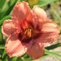 Daylily 'Lady Dancer' photo Whitehouse Perennials Nursery and Display Gardens
