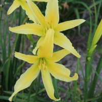 Daylily 'Lady Fingers' photo Whitehouse Perennials Nursery and Display Gardens