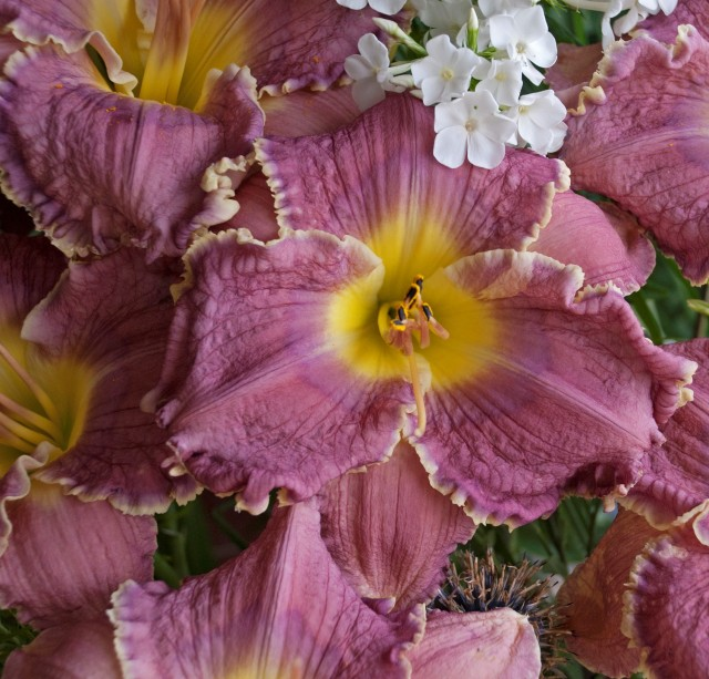 Daylily 'Lake Effect' photo Suzanne Patry at Whitehouse Perennnials