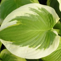 Hosta 'Lakeside April Snow' photo courtesy of Walters Gardens