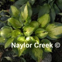 Hosta 'Lakeside Banana Boat' photo courtesy of Naylor Creek Nursery