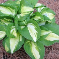 photo of Hosta 'Lakeside Meter Maid' courtesy of Sandy Hanson