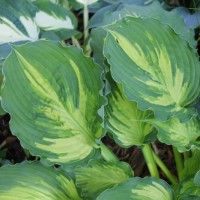 Hosta 'Lakeside Paisley Print' photo courtesy of Green Hill Hostas