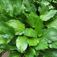 Hosta 'Lakeside Storm Watch' photo courtesy of Naylor Creek Nursery