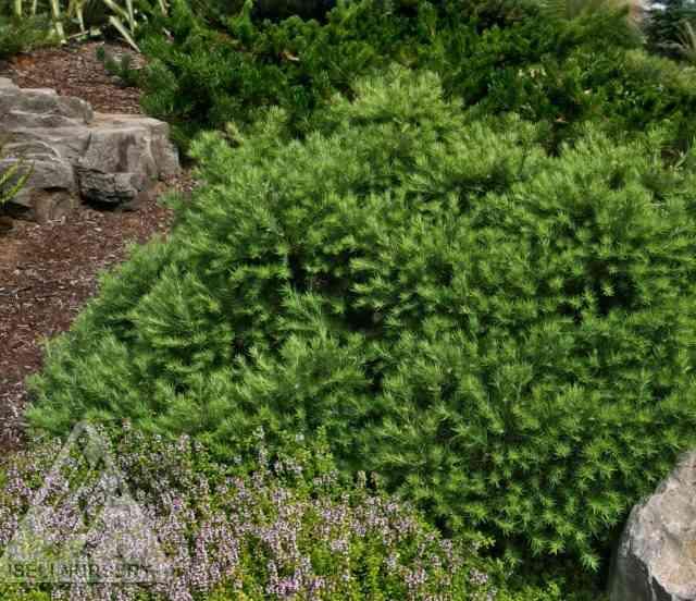 Larix gmelinii 'Romberg Park' photo courtesy of Iseli Nursery