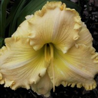 Daylily 'Larry Grace'