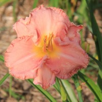 Daylily 'Last Picture Show' photo Suzanne Patry, Whitehouse Perennials