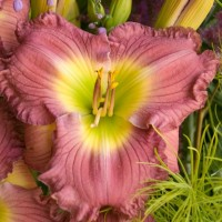 Daylily 'Lavender Stardust'  Photo courtesy of Walters Gardens