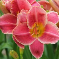 Daylily 'Leah Abbott' photo Whitehouse Perennials Nursery and Display Gardens