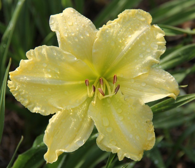 Daylily 'Lemon Lime Radiance' photo Whitehouse Perennials Nursery and Display Gardens