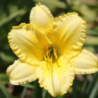Daylily 'Leo Lion' photo Whitehouse Perennials Nursery and Display Gardens