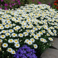 Leucanthemum 'Snowcap' photo courtesy of Walters Gardens