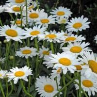 Leucanthemum superbum Becky