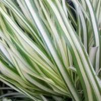 Calamagrostis 'Lightning Strike' photo courtesy of Growing Colors