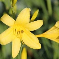 Daylily lilioasphodelus photo Whitehouse Perennials Nursery and Display Gardens