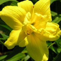 Daylily 'Little Bit Extra' photo Whitehouse Perennials Nursery and Display Gardens