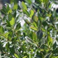 photo of Ilex 'Little Goblin Guy'