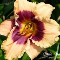 Daylily 'Little Italy' photo courtesy of Angela Snowdon
