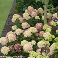 Hydrangea 'Little Lime' photo courtesy of Proven Winners