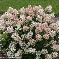 Hydrangea 'Little Quickfire' photo courtesy of Proven Winners