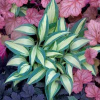 Hosta 'Little Treasure' Photo courtesy of Walters Gardens