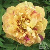 Peony 'Lollipop' photo courtesy of Valleybrook Gardens