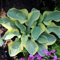 photo of Hosta 'Lucky Mouse' courtesy of Naylor Creek Nursery