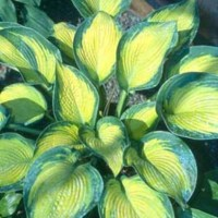 Hosta 'Margie's Angel' photo courtesy of Green Hill Hostas