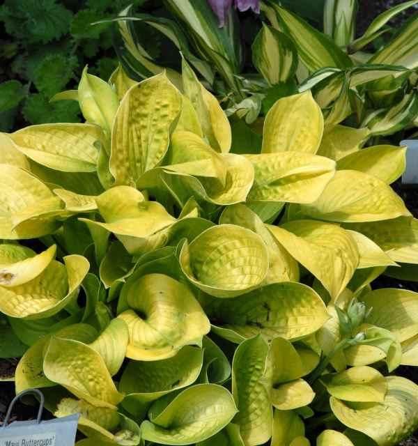Hosta 'Maui Buttercups ' Photo courtesy of Walters Gardens
