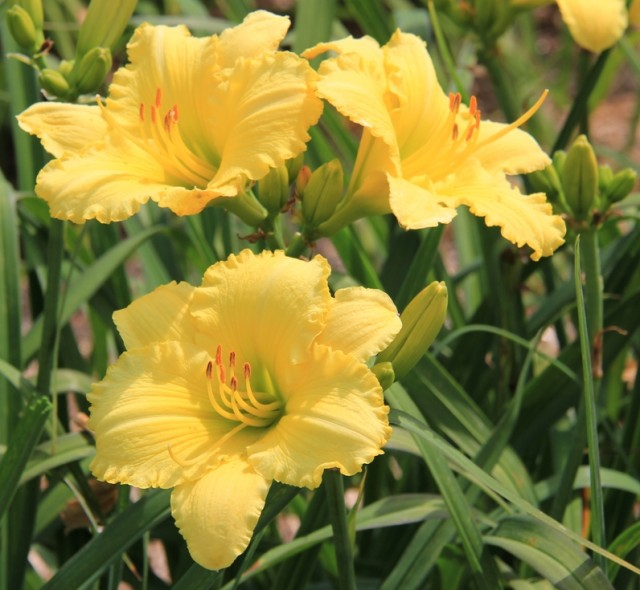 Daylily 'McNamara's Band' photo Suzanne Patry, Whitehouse Perennials