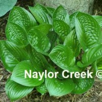 Hosta 'Midnight Oil' photo courtesy of Naylor Creek