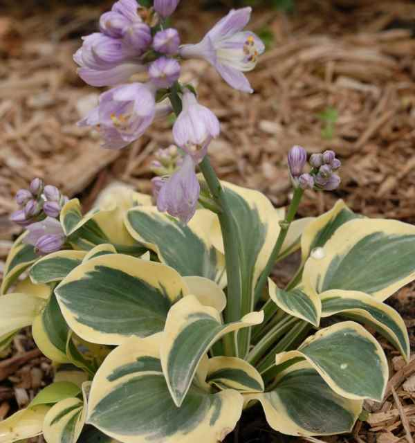 Hosta 'Mighty Mouse' Photo courtesy of Walters Gardens