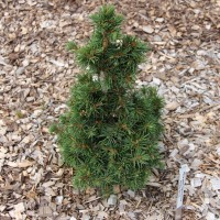 Picea abies 'Mikulasovice' photo Suzanne Patry