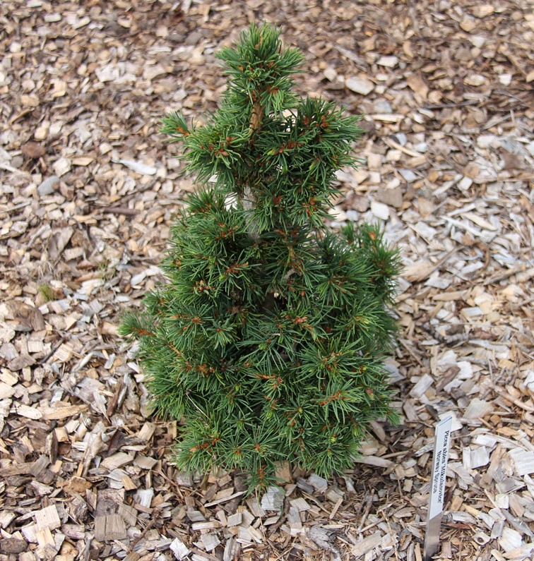 Picea abies 'Mikulasovice' photo Suzanne Patry