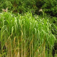 Miscanthus Giganteus in Whitehouse Perennials Nursery and Display Gardens