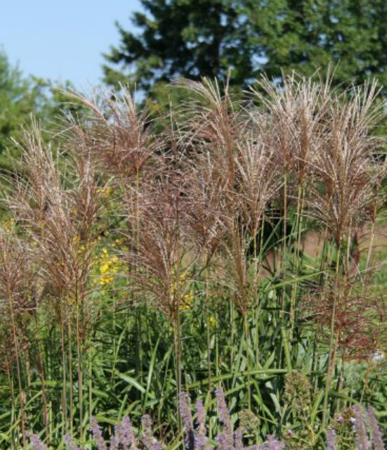 Miscanthus sinensis Malepartus photo courtesy of Walters Gardens