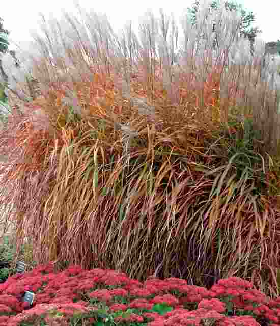 Miscanthus Purpurascens photo courtesy of Walters Gardens