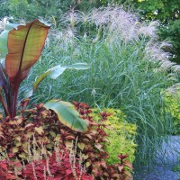 Miscanthus 'Silberfeder' in display garden at Whitehouse Perennials