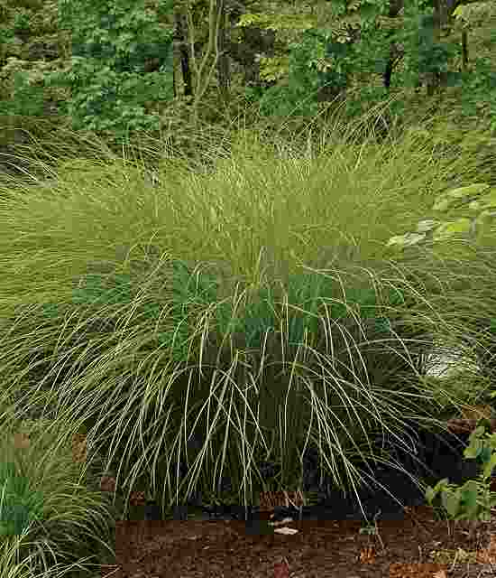 Miscanthus sinensis Gracillimus photo courtesy of Walters Gardens